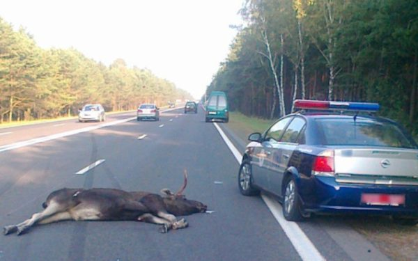 ДТП с участием животных